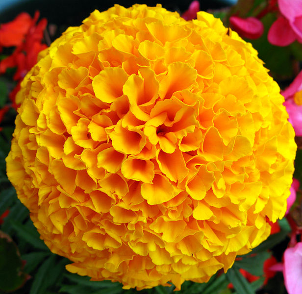 File:Yellow French Marigold Flower.jpg