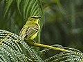 Yellow Tyrannulet - South Ecuador S4E9007 (16872329611).jpg