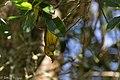 Yellow Warbler (male) Sabine Woods TX 2018-04-22 09-03-09 (41947642292).jpg