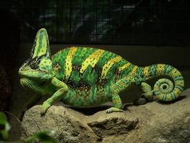 Chameleon jemenský v Berlínské zoologické zahradě