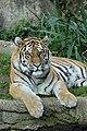 Young Pathera tigris altaica Leipzig 2013.jpg
