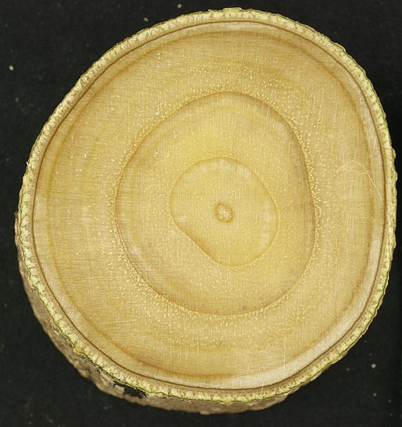 File:Young green ash cross-section.jpg