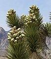 Yucca brevifolia 22.jpg
