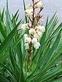 Yucca flowering stem closeup.JPG