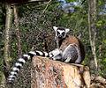 ZSL London - Ring-tailed lemur (02).jpg