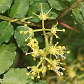 Zanthoxylum piperitum (flower male).jpg