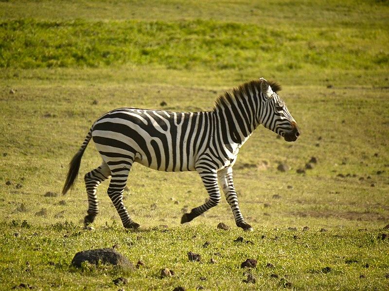 File:Zebra (6693805489).jpg
