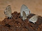 Zebra Blue (Leptotes plinius), Indian Cupid (Everes lacturnus) & Tiny Grass Blue, Zizula gaika W IMG 5985.jpg