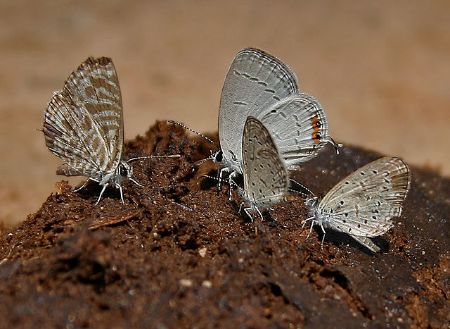 Tập tin:Zebra Blue (Leptotes plinius), Indian Cupid (Everes