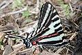 Zebra swallowtail (17238146995).jpg