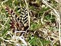Zerynthia cassandra tra l'erba.jpg