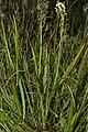 Zigadenus venenosus 0116.JPG