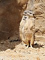 Zoo Ohrada, surikata 02.jpg