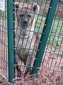 Zoo des 3 vallées - Hyène tachetée - 2015-01-02 - i3424.jpg