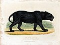 Zoological Society of London; a black panther. Coloured etch Wellcome V0023114.jpg