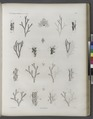 Zoologie. Polypes. Cellaires (NYPL b14212718-1268627).tiff