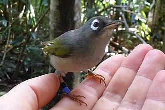 Mauritius olive white-eye - Male on hand