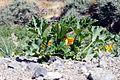 Zucchini plant (4567153849).jpg
