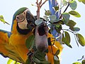 """arara-canindé"" - Ara ararauna - se alimentando de frutos e sementes de jatobá - Hymenaea courbaril 06.jpg"