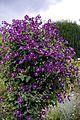 'Clematis viticella' Étoile Violette at Goodnestone Park Kent England 2.jpg