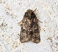 (2289) Knot Grass (Acronicta rumicis) - Flickr - Bennyboymothman.jpg