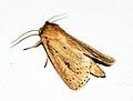 (2373) Webb's Wainscot (Archanara sparganii) (5014548859).jpg