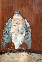 (Albi) Un faucon pèlerin Toulouse-Lautrec 1880 MLT30.jpg