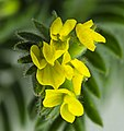 (MHNT) Ornithopus compressus - flowers.jpg