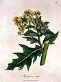 `Hyoscyamus niger' Wellcome L0019163.jpg