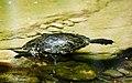 Χελώνα του νερού στο δασος Υμηττού.jpg