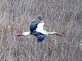 Белый аист - Ciconia ciconia - White stork - Бял щъркел - Weißstorch (33440224161).jpg