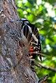 Большой пёстрый дятел - Dendrocopos major - Great spotted woodpecker - Голям пъстър кълвач - Buntspecht (37068609592).jpg