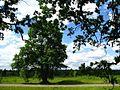Ветвистые дубы - panoramio.jpg