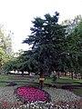 Гомель. Парк. Гинкго двулопастное. Фото 02.jpg
