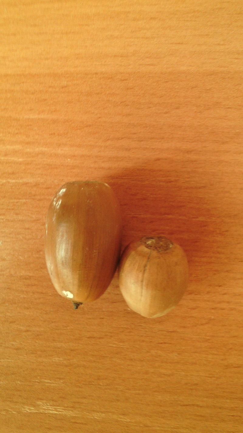Для сравнения: жёлуди монгольского и черешчатого дуба
