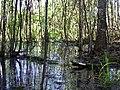 Заболочений ліс в заказнику Сукачове.jpg