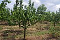 Крушови дрвја во Сирково 02.jpg