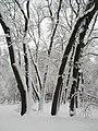 Маріїнський парк, засніжені дерева.jpg
