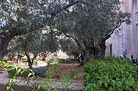 Оld Olive trees in the Garden of Gethsemane, 10.jpg