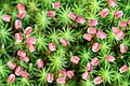 Политрихум обыкновенный - вид мхов из рода Кукушкин лён.jpg