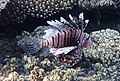 Рыба-зебра. Rotfeuerfisch. Pterois volitansDSCF1583Wi.jpg