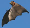Сероголовые летучие лисицы (Pteropus poliocephalus).png