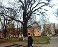 Старое дерево - panoramio.jpg