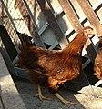 Червена Старозагорска кокошка.jpg