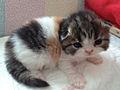 Шотландский котенок.jpg