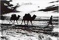 אדם מוביל שני גמלים ואווירון בשמיים - מראה כללי Man leading camels, plane in the-83.jpeg