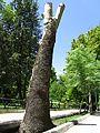 درختی به شکل پیروزی - panoramio.jpg
