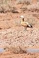 طيور منطقة المغير.*.jpg