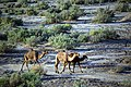چرای گله شتر - حوالی کاروانسرای دیر گچین قم - پارک ملی کویر 14.jpg