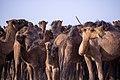 چرای گله شتر - حوالی کاروانسرای دیر گچین قم - پارک ملی کویر 26.jpg